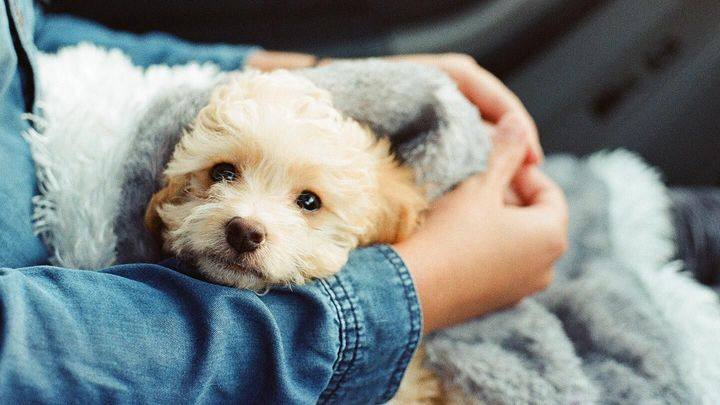 A hands holding small dog